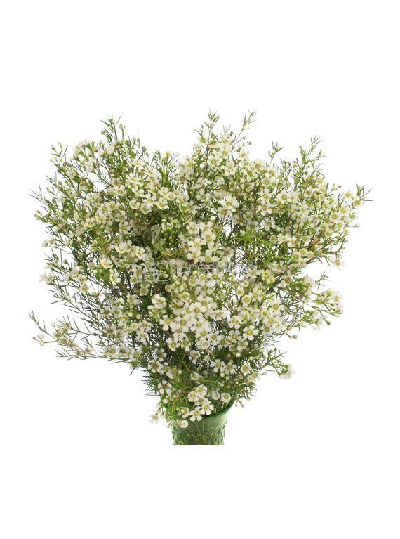 White Wax Flower Greenland