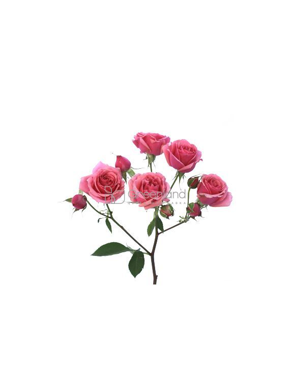 BRIGHT PINK GARDEN SPRAY ROSES - PINK PIANO