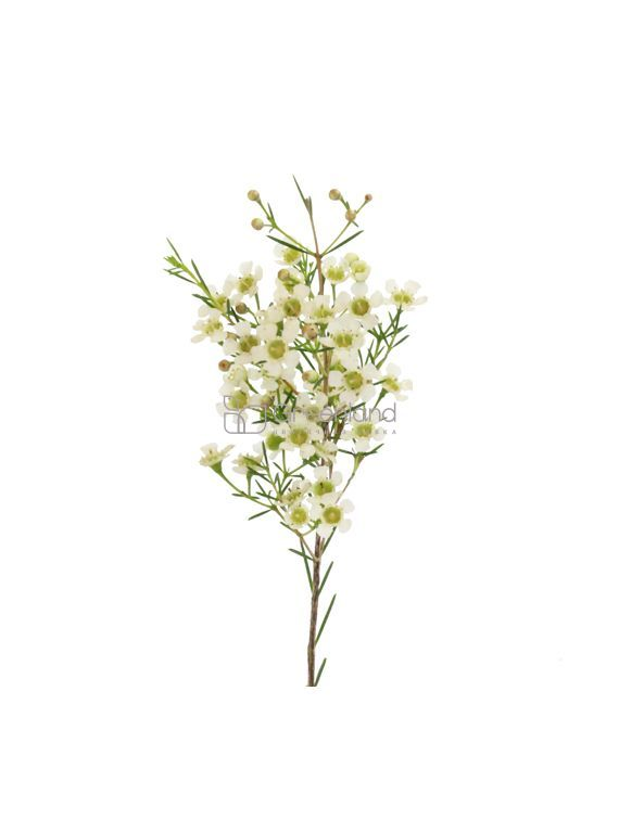 White Wax Flower